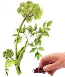 Angelica Seed  (5mls)