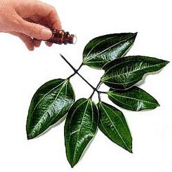 Cinnamon Leaf  (100mls)