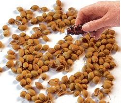 Coriander Seed