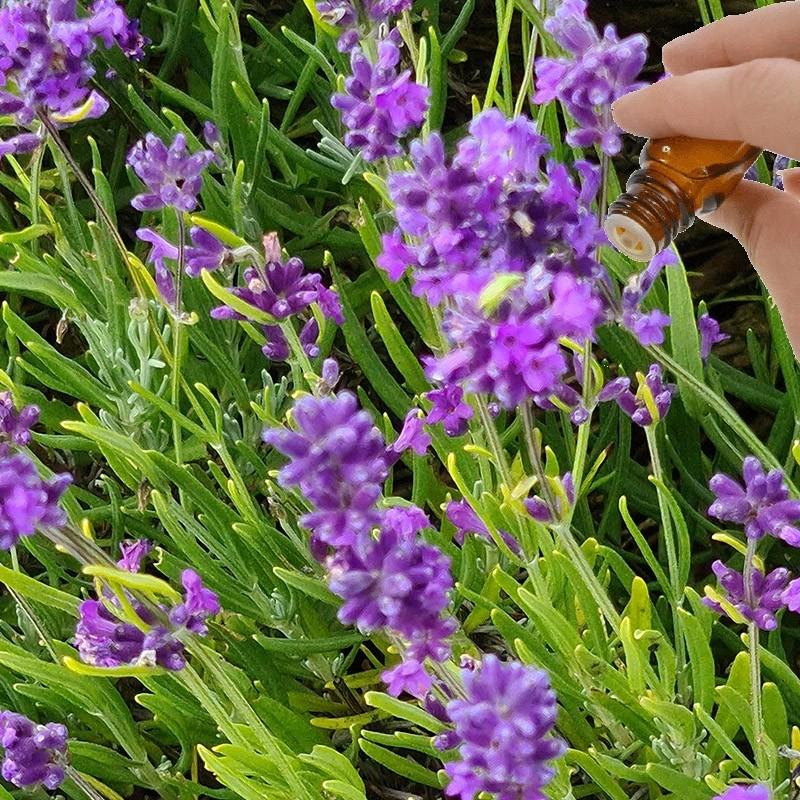 Lavender (High Altitude) Essential Oil