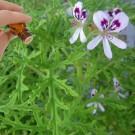 Rose Geranium (10mls)