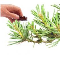 Pine (Scots)