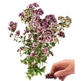 Marjoram  (Sweet) Essential Oil