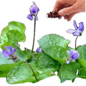 Violet Leaf Absolute Essential Oil